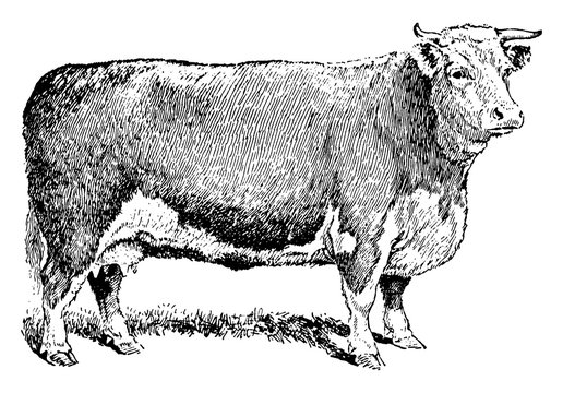 Beef Cow, vintage illustration.