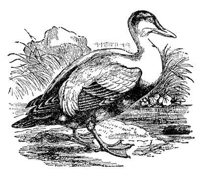 Eider Duck, vintage illustration.