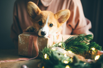 New Year dog, Corgi Puppy with christmas present.
