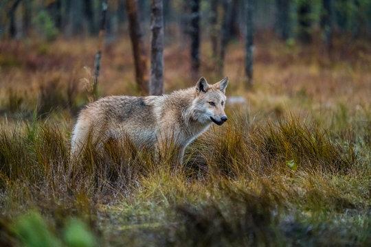 Finish wolf