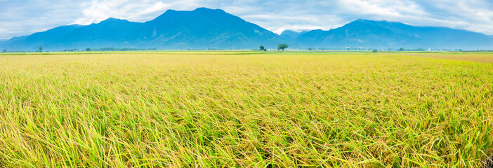Beautiful Rice Fields in taitung . Taiwan