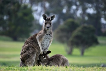 Fotobehang Kangoeroe Kangaroo with a joey trying to get into the pouch in this touching mother and child moment at the Wonthaggi Golf Course, Wonthaggi, Gippsland, Victoria, Australia