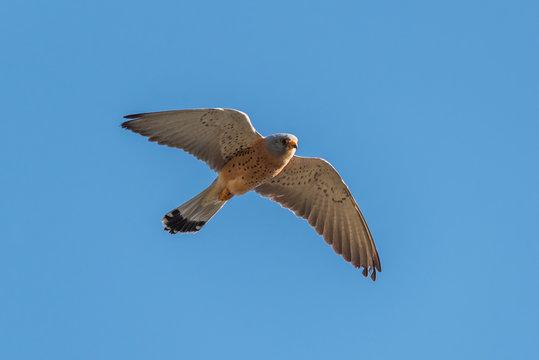 Lesser kestrel (Falco naumanni) male flying