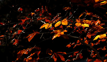 Beech tree leaves take on their autumnal colour in Pitlochry, Scotland