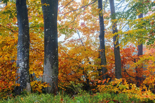 beech forest on a hazy morning. beautiful autumn scenery in the woods. gloomy weather. trees in colorful foliage