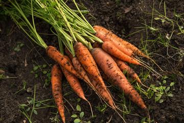Fototapeta Bunch of organic dirty carrot harvest in garden on ground obraz
