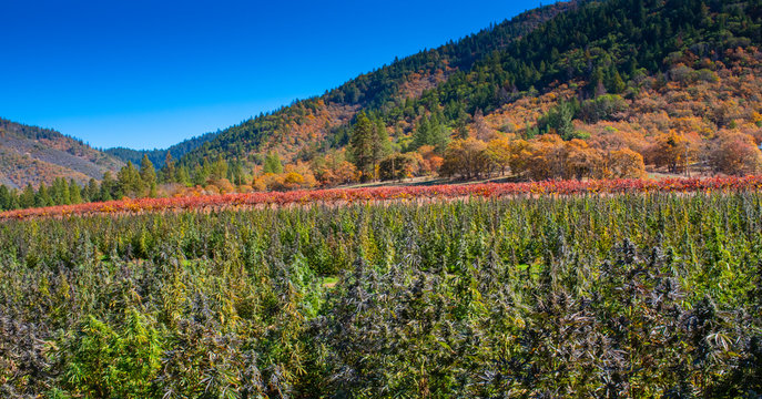 A field of help ready for harvest in Oregon, the hemp capital of the world