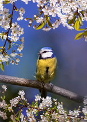 Fototapete - cute beautiful bird tit azure sits among the blossoming white cherry branches in the may garden on a Sunny day