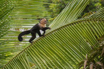 Capuchin monkey on a tree in Costa Rica