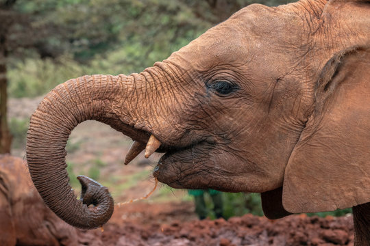 Close up of baby elephant covered in red colored mud splashing water into its mouth from its trunk