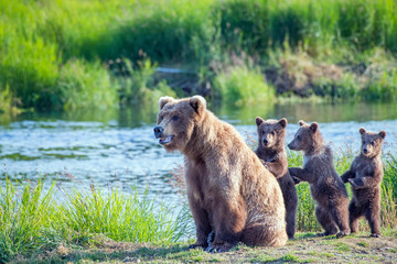 Wild brown bear family with mama and three standing young cubs.