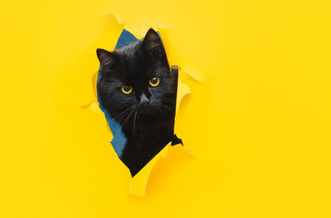 In de dag Kat Funny black cat looks through ripped hole in yellow paper. Peekaboo. Naughty pets and mischievous domestic animals. Copy space.