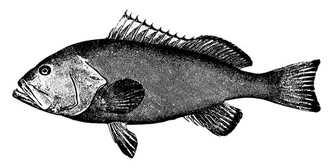 Red Grouper, vintage illustration.