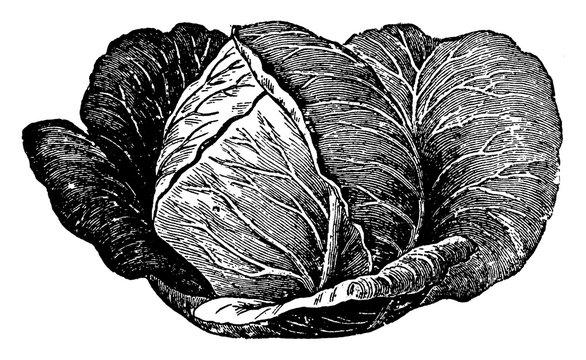 Cabbage vintage illustration.