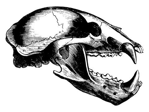 Wolf Skull, vintage illustration.