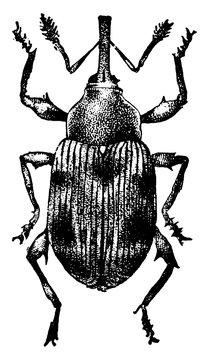 Strawberry Weevil, vintage illustration.