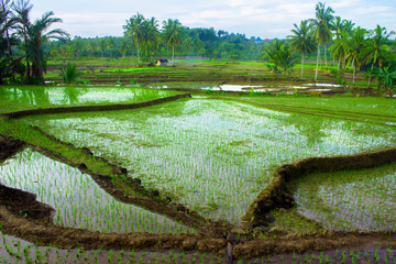 rice fields in north bengkulu asia indonesia, beauty color and sky natural light in the morning