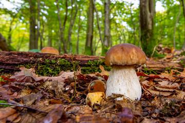 Fototapeta Mushroom in forest , bolete, boletus.White mushroom on green background .Natural white mushroom growing in a forest. obraz