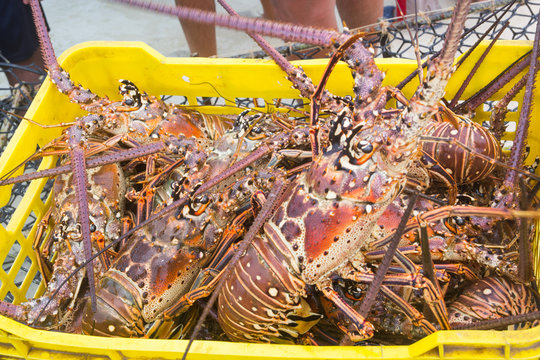 Lobster season CARIBBEAN freshly caught spiny lobster during the regular season for harvesting LOS ROQUES lobster in VENEZUELA.