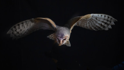 a barn owl in flight at night. It is hunting and looking down as it hovers over its prey and has its wings spread out