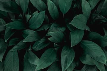 closeup nature view of green leaf in garden, dark tone nature background, tropical leaf