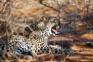 Leopard (Panthera pardus) Showing Teeth, Lying in the Bush.Balule Nature Reserve, Kruger Park, South Africa