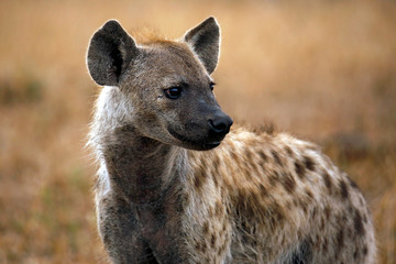 Close-up of a Spotted Hyena (Crocuta crocuta). Satara, Kruger Park, South Africa