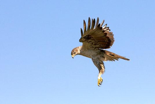 Bonelli´s Eagle, Aquila fasciata, birds