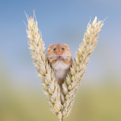 Cute mouse sitting on wheat and eating