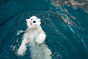Photo sur Aluminium Ours Blanc Polar bear swims in cold blue water and holding food in his mouth. Close-up photo of floating white bear that looking at the camera.
