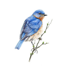 Bluebird sitting on a branch watercolor illustration. Eastern sialia small songbird on a tree. Isolated on the white background.