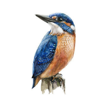Kingfisher bird sitting on a tree branch watercolor illustration. Hand drawn picture of a bright blue bird with orange breast, isolated on white background.