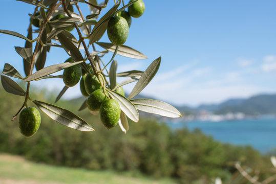 Olive tree against blue sea and sky, Shodoshima Island in Kagawa, Japan オリーブの木と瀬戸内海 香川県・小豆島