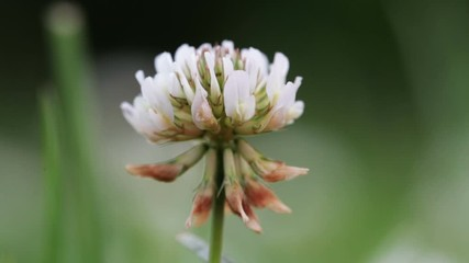 Fototapete - Wildlife macro. White clover flower on blurred background of green field close-up. Natural background. Landscape, nature, summer.