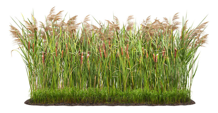 Cut out plant. Reed grass. Cattail and reed plant isolated on white background. Cutout distaff and bulrush. High quality clipping mask .