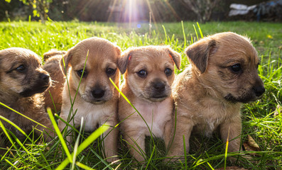Four brown puppies in the grass