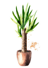 Yucca tree in ceramic flower pot. Indoor, home, house plant, Watercolor hand drawn illustration isolated on white background