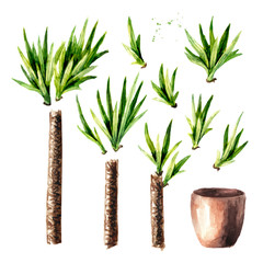 Yucca tree in the ceramic flower pot. Indoor, home, house plant set, Watercolor hand drawn illustration isolated on white background