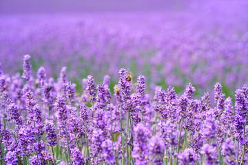 Garden Poster Lavender Lavande en fleurs sur le champ gros plan.