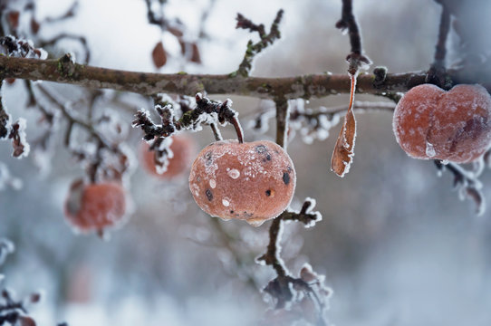 Branches of an apple tree with fruits under hoarfrost in a winter garden. Abandoned apple harvest. Selective focus.