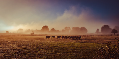 Fotorollo Schokobraun Salers cow in the morning fog in French Cantal