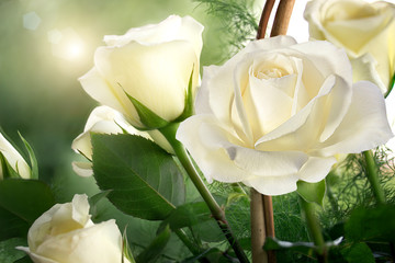roses, background image  ,roses in the garden,beautiful roses
