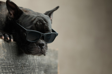 Türaufkleber Französisch bulldog french bulldog wearing sunglasses lying down and looking ahead
