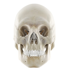3d rendered medically accurate illustration of the human skull