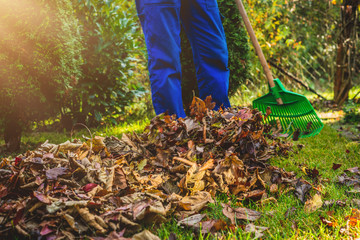 Seasonal raking of leaves in the garden. Concept of cleaning and caring for the garden. Man rakes withered and colorful leaves in the garden. Autumn cleaning before winter, spring cleaning garden. Wall mural