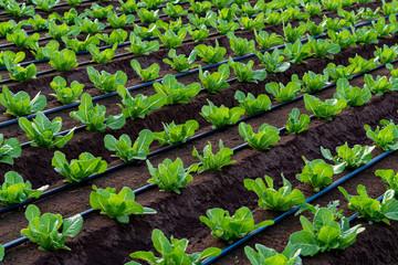 Farmers field with growing in rows green organic lettuce leaf vegetables Fotoväggar