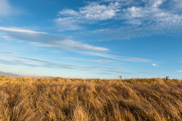 Tall dry grass sway in the wind on sky background