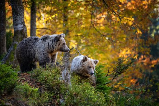 Brown bear in autumn forest
