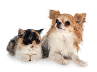 Wall Mural - exotic shorthair and chihuahua