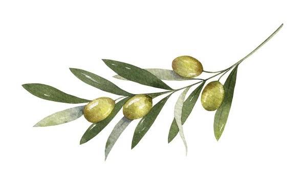 Watercolor vector olive branch with leaves and fruits.